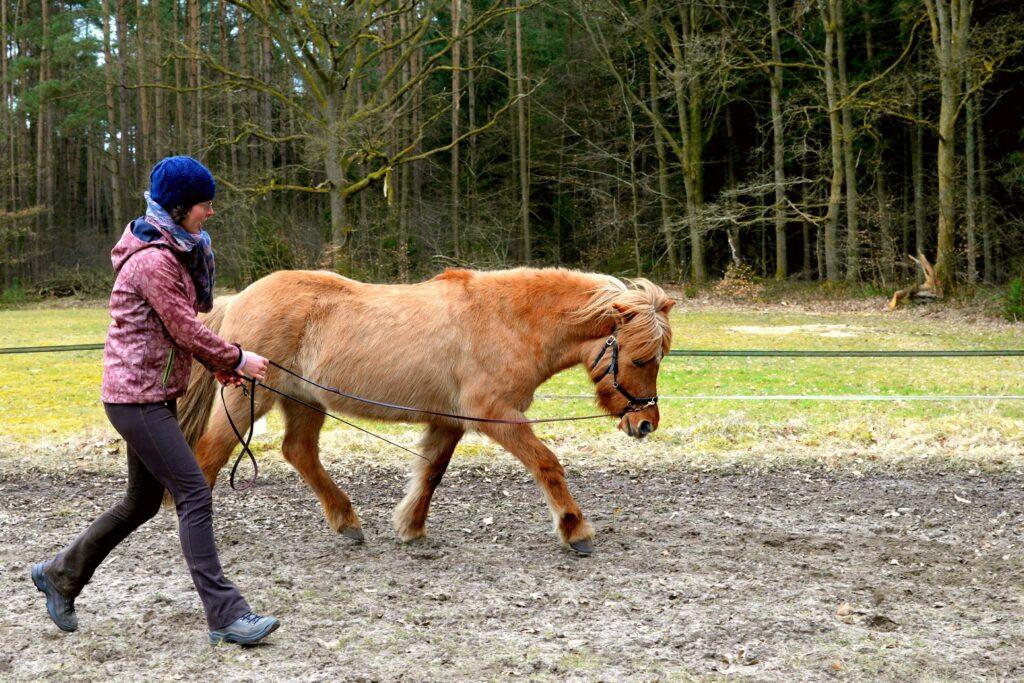 Das Pferd kann beim longieren lernen den Kopf zu senken und sich zu entspannen.