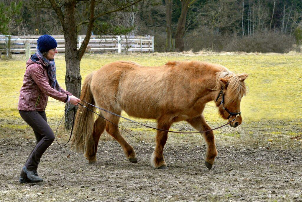 Das Pferd trabt in gedehnter Haltung auf dem Zirkel.